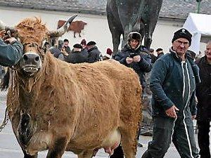 Vidéo : Haute et l'Aubrac partent pour le Salon de l'agriculture !