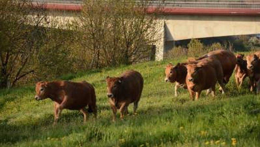 Rodez : les vaches sont arrivées à La Boriette