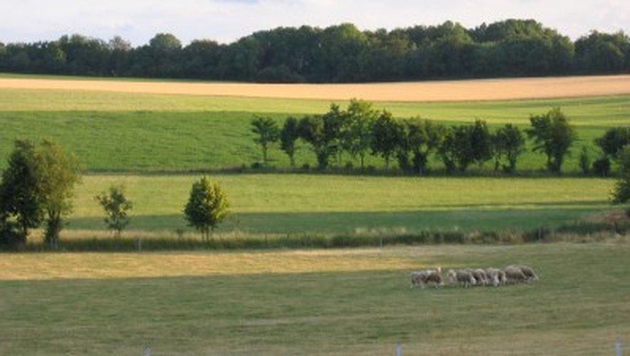 Sud-Aveyron : encore une attaque de brebis...