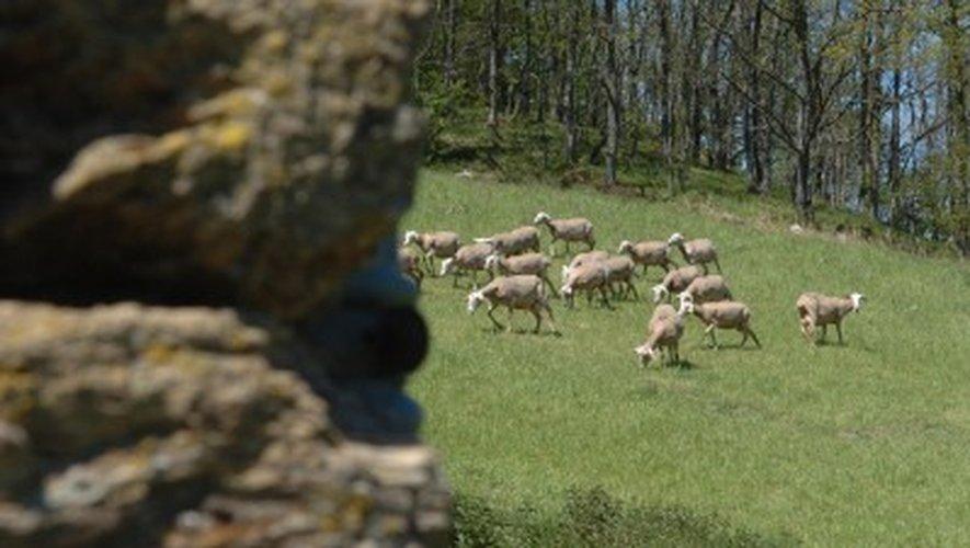 Sainte-Eulalie-de-Cernon : une brebis tuée dans une nouvelle attaque de troupeau