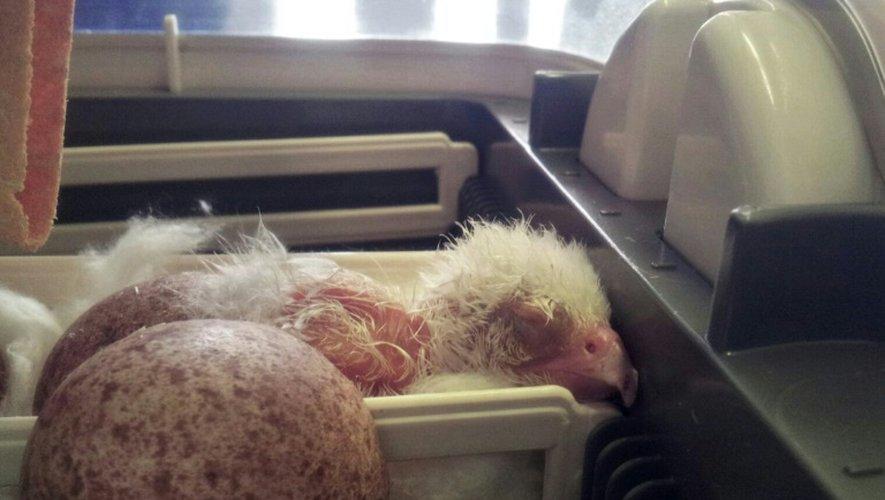 Un poussin de faucon pèlerin albinos, une espère rare vivant en Patagonie, dans un incubateur du Service de protection des animaux chiliens, le 27 janvier 2016 à Santiago