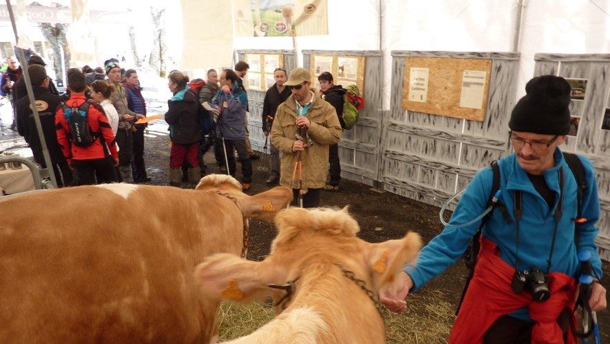 Des vaches Simental et Aubrac pour accueillir les participants.