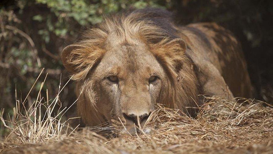Un lion d'Abyssinie photographié le 18 février 2015 à la fondation Born Free à Addis Abeba, en Ethiopie