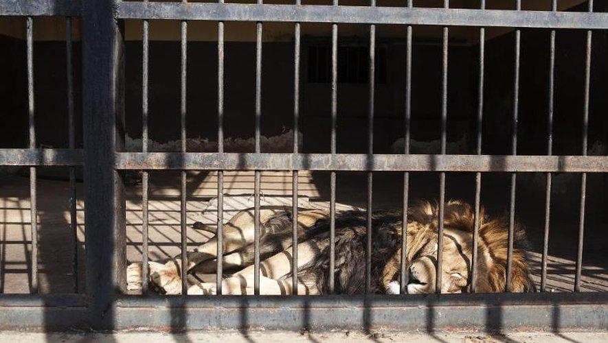 Un lion dort dans sa cage le 20 février 2015 au zoo des lions d'Addis Abeba, en Ethiopie