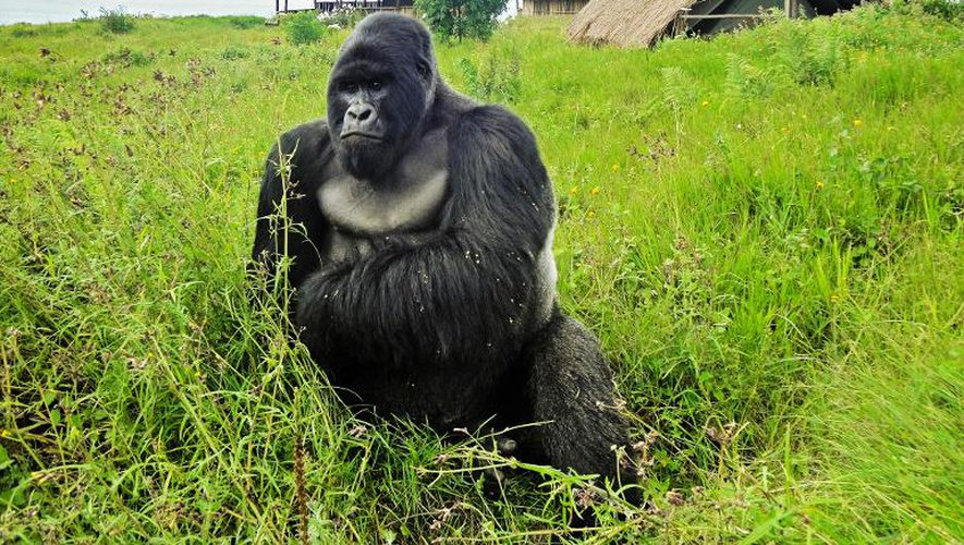 Un gorille dans le parc national des Virunga, la plus vieille réserve naturelle d'Afrique, dans l'est de la République démocratique du Congo le 7 avril 2011