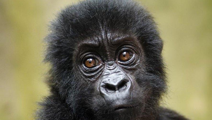 Un bébé gorille dans le parc national des Virunga, la plus vieille réserve naturelle d'Afrique, dans l'est de la République démocratique du Congo le 15 septembre 2012 (photo fournie le 24 septembre)