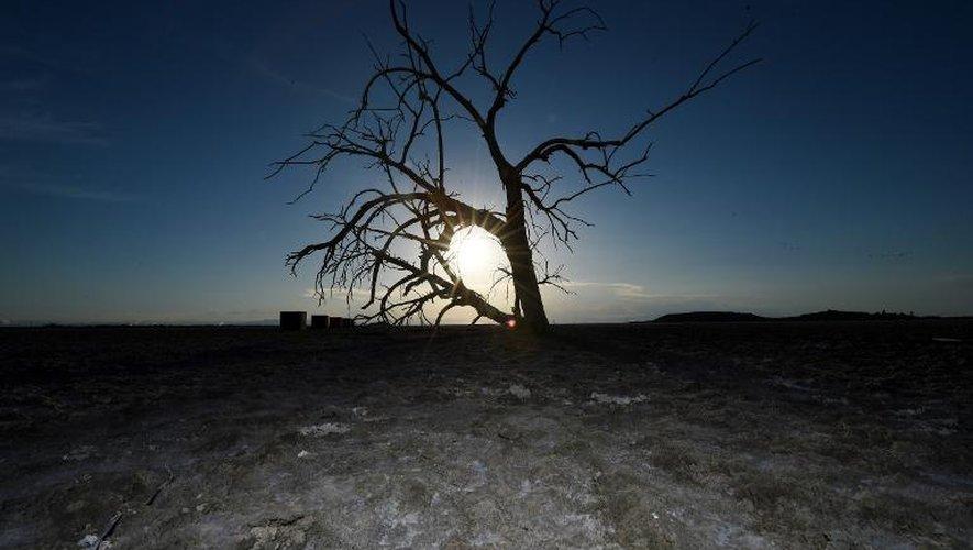 Un arbre mort, victime de la secheresse près du Salton sea (sud de la Californie)