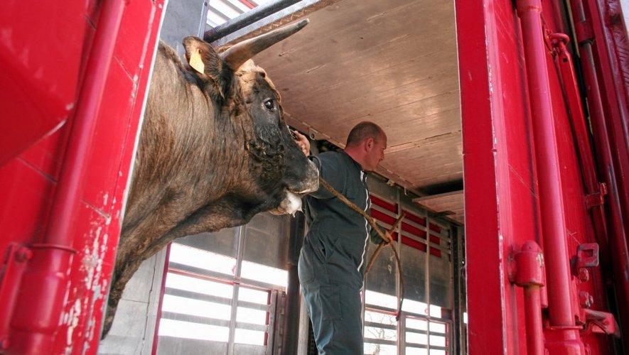 La race aubrac est la première race française en nombre de bêtes en Lituanie.