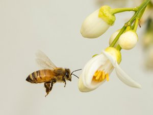 L'abeille ariégeoise vole au secours de Stéphane Le Foll