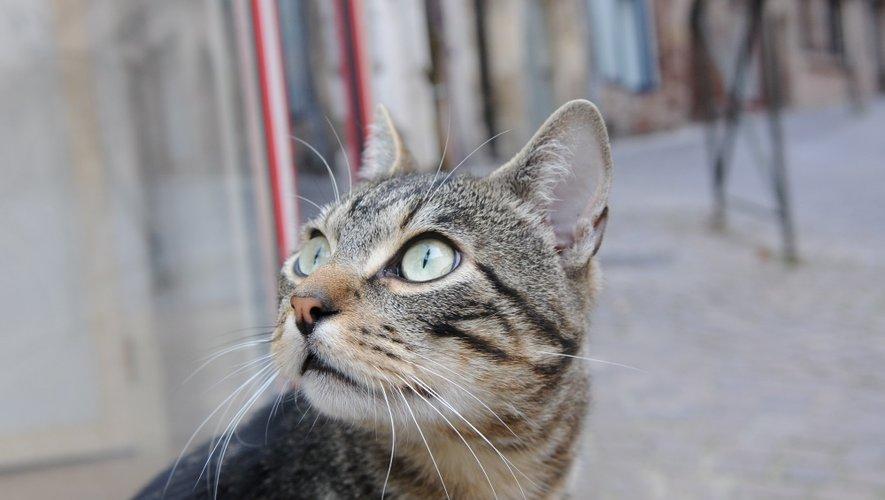 Installé depuis un mois, le chat de l'abbatiale ne semble pas vouloir bouger.