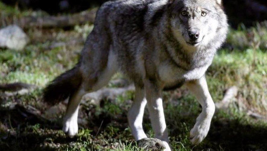 L'ONF a confirmé la présence du loup en Lozère, sur le Causse Méjean et l'Aubrac, depuis 2012.