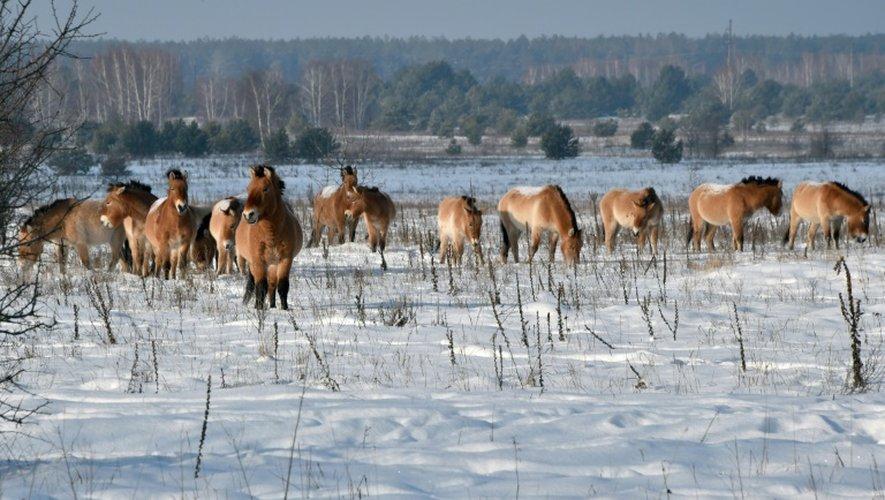 Des chevaux de Przewalski, dans la zone d'exclusion de Tchernobyl, le 22 janvier 2016 en Ukraine