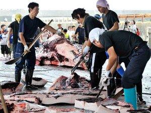 Le Japon renonce à sa prochaine campagne baleinière dans l'Antarctique