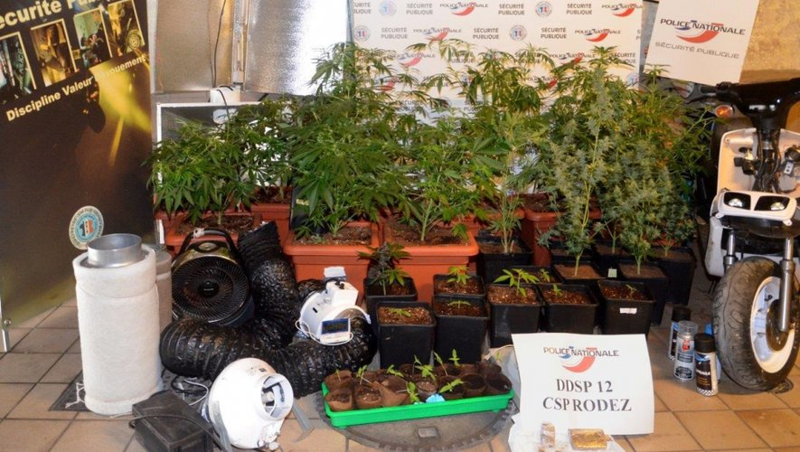 Rodez : 40 pieds de cannabis saisis