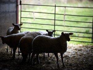 """Agnelle OGM vendue à l'abattoir: pas de """"risque"""" pour le consommateur"""