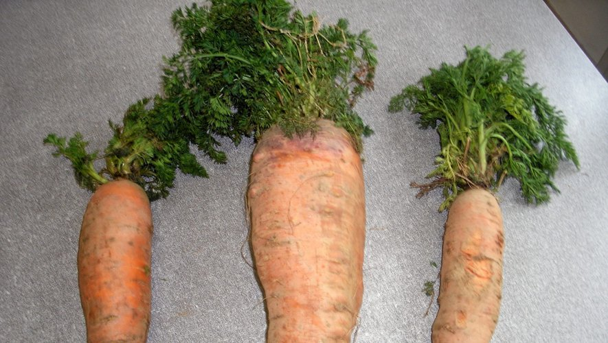 Le jardinier durenquois a récolté une carotte de 2,1 kg, accompagnées de deux de 1 kg.