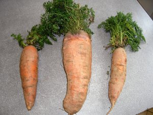Une carotte de 2,1 kg : hiver doux ou savoir-faire ?