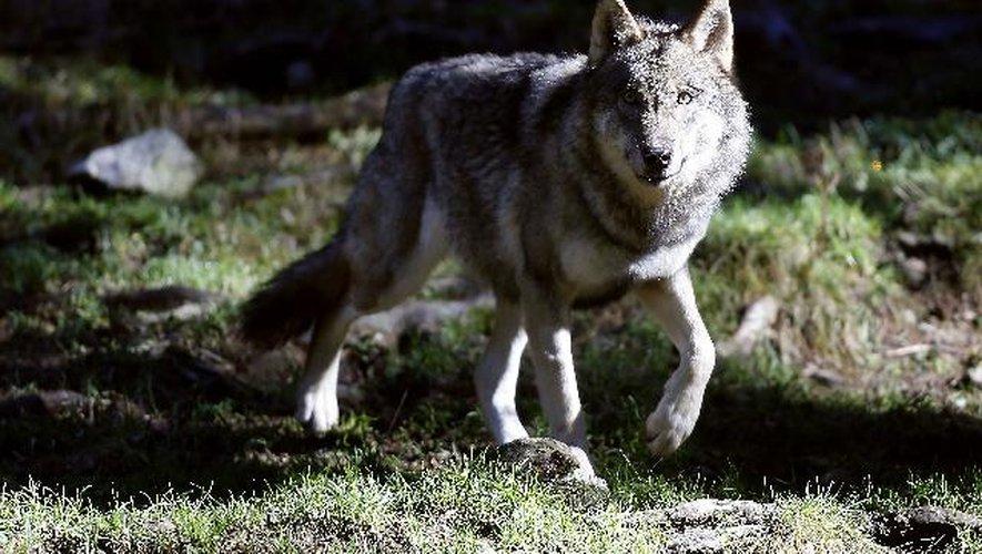 L'animal photographié présentait toutes les caractéristiques du loup, selon les experts.