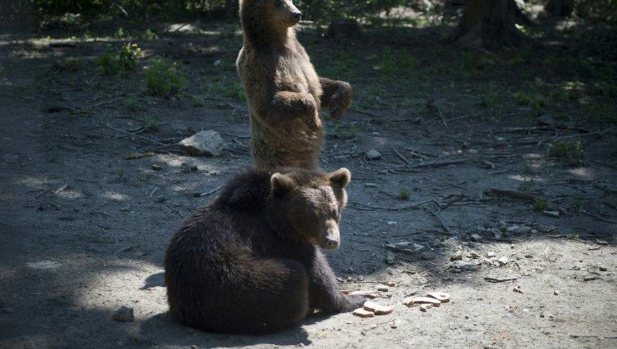 Des ours dans le centre de Libearty en Roumanie le 26 juin 2015