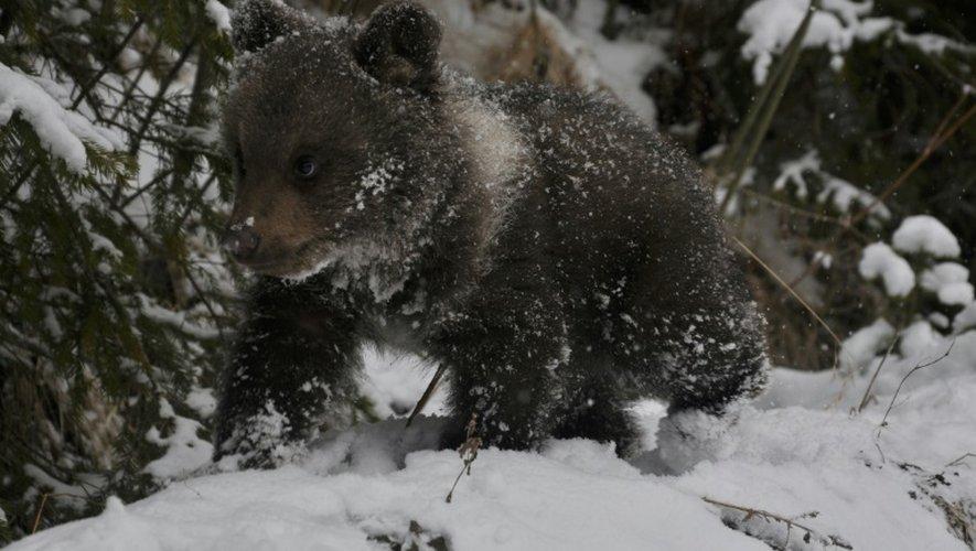 Un ourson dans le centre de Libearty en Roumanie, le 6 avril 2015
