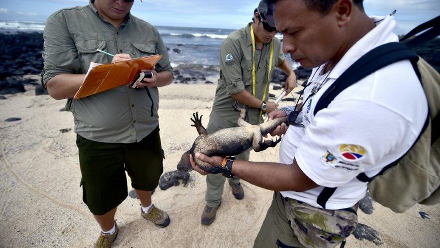 Le directeur des études marines du Parc national des Galapagos (PNG), Eduardo Espinoza, contrôle les mesures d'une iguane marine le 16 juillet 2015 sur l'île de Santa Cruz de cet archipel équatorien du Pacifique