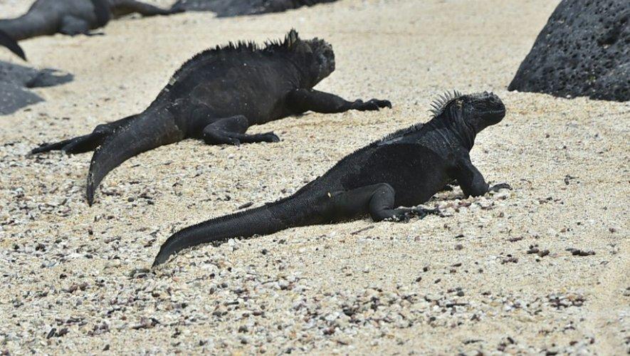 Des iguanes marins de Playa de los Perros (la plage des Chiens), sur l'île Santa Cruz de l'archipel équatorien des Galapagos, le 16 juillet 2015