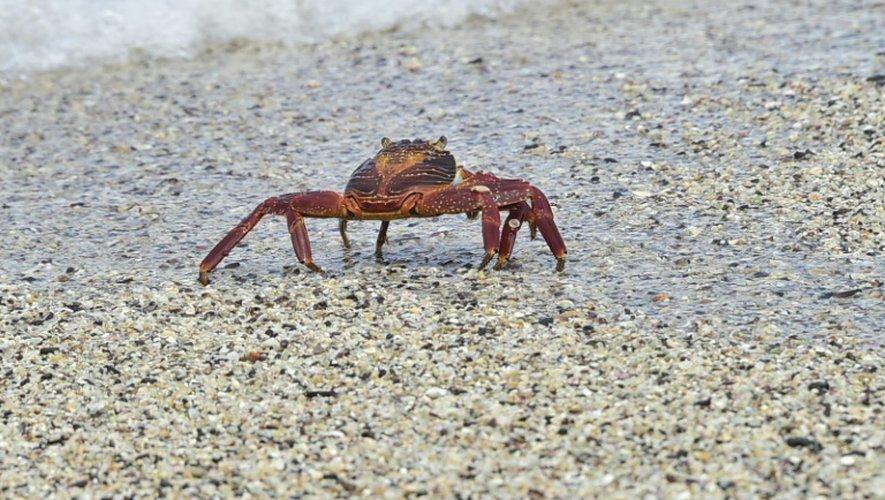 Un crabe se promène le 16 juillet 2015 à Playa de los Perros (la plage des Chiens), sur l'île de Santa Cruz de l'archipel équatorien des Galapagos, dans l'océan Pacifique