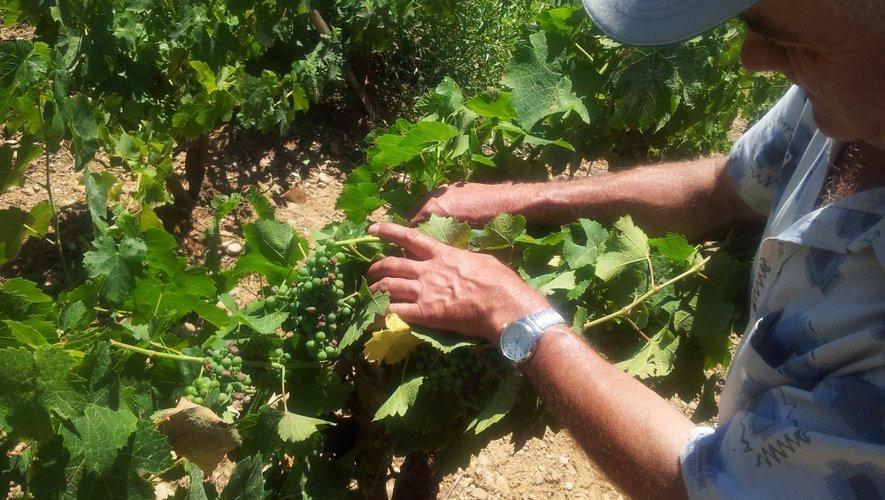 Après l'orage, Michel Durand n'a pas eu de mal à constater les premiers dégâts. «C' est sûr que des grappes vont sécher puis disparaître».