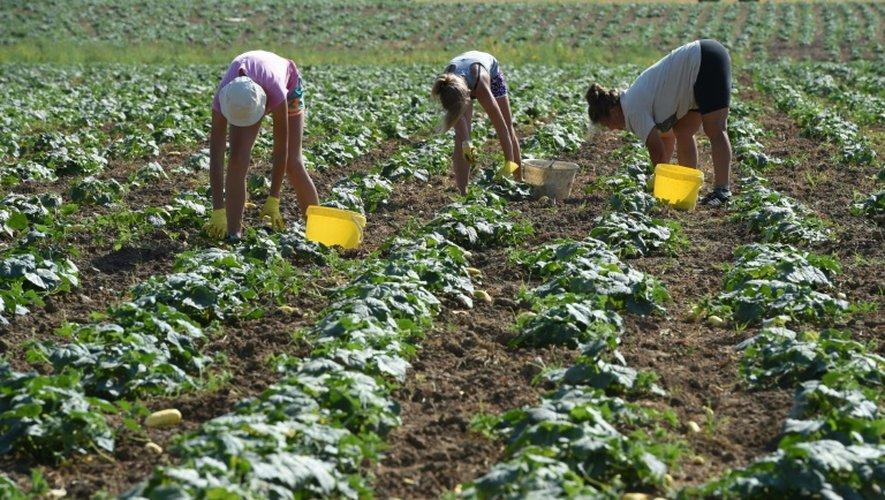 Des ouvriers agricoles cueillent des cornichons dans la dernière ferme à en produire à Chemilly-sur-Yonne le 15 juillet 2015