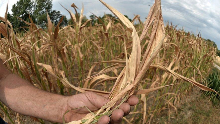 Du maïs affecté par la sécheresse le 17 juillet 2015 à Roppenheim (est)