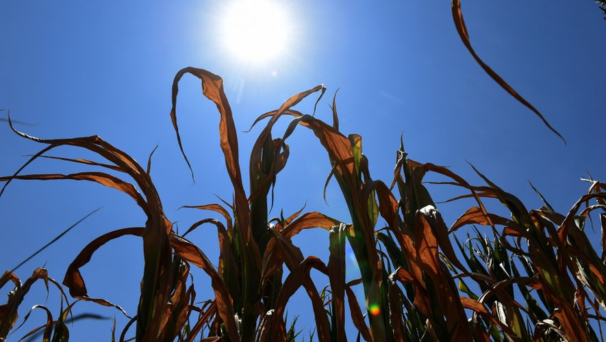 The sun shines over partially dry corn plants in a field in Saint-Bonnet-de-Mure near Lyon, France on July 16, 2015, during a heat wave with temperatures hitting nearly 40 degrees in the east. AFP PHOTO / PHILIPPE DESMAZES