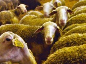 Roquefort - La brebis lacaune, reine des causses, fait naître le roi des fromages