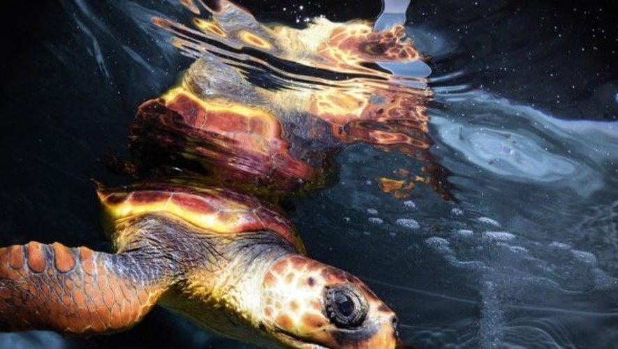 La Grande-Motte - Les tortues caouannes choyées