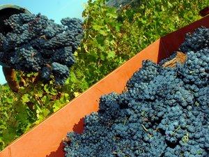 """Vendanges en Aveyron : un cru 2013 """"dur sur la vigne, difficile en chai"""""""