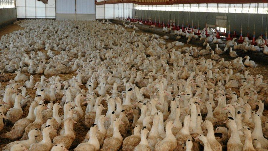 Au printemps, dans le Sud-Ouest, cinq semaines de vide sanitaire dans les élevages avait été décrétées.