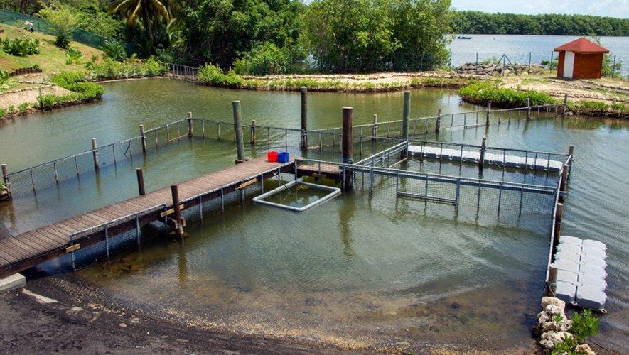Un bassin d'acclimatation a été installé au centre du Blachon à Grand Cul-de-Sac Marin en Guadeloupe pour accueillir Kai et Junior, le 10 août 2016