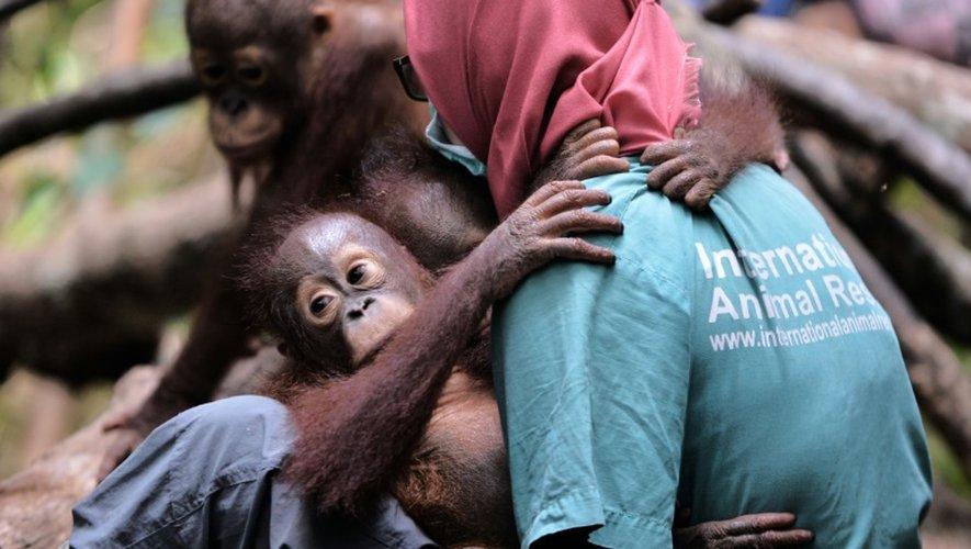 Un jeune orang-outan tenu par un membre d'une ONG le 4 août 2016 à Ketapang, en Indonésie