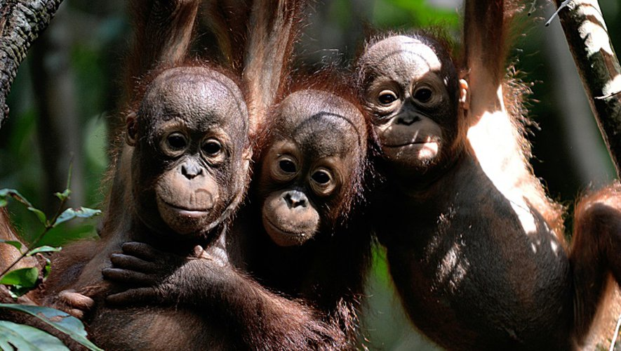 Des petits orangs-outans à Ketapang, en Indonésie, le 4 août 2016