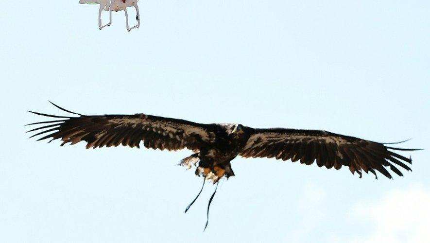 L'aigle repère sa proie avant de la capturer en vol, le 12 septembre 2016 à Ossendrecht