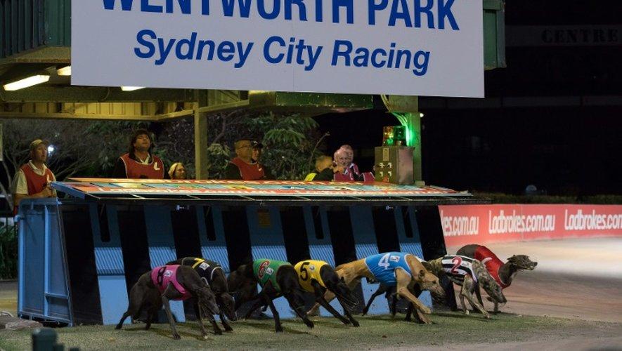 Une course de lévriers, le 21 août 2016 à Sydney