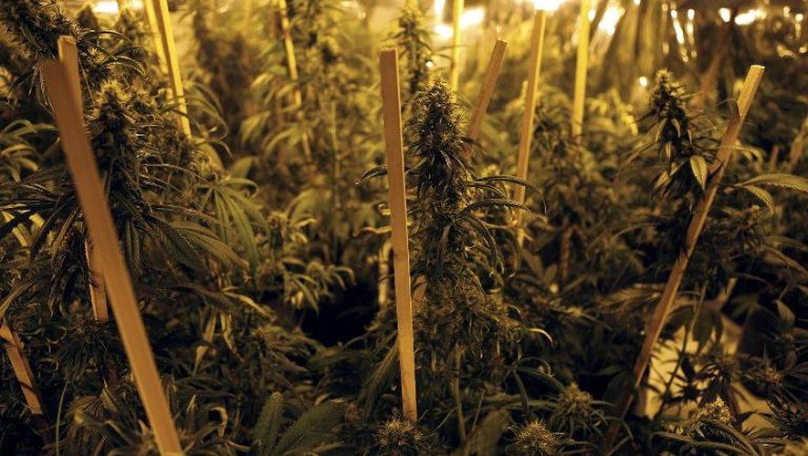 Des plants de cannabis sont cultivés dans un club à Montevideo le 10 décembre 2014