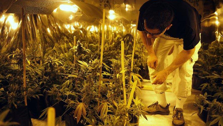 Juan Vaz, porte-parole de l'Association d'études cannabiques d'Uruguay (AECU), vérifie la croissance des plants de cannabis le 10 décembre 2014 dans un club à Montevideo