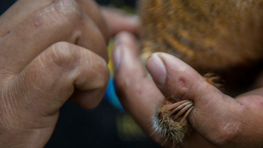 Un fourmilier nain, dans les mains de la personne chargée de le soigner, le 26 octobre 2016 au zoo de Huachipa, à Lima