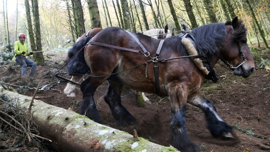Un cheval tire un sapin dans le Parc National de Morvan, près de Roussillon-en-Morvan, en France, le 2 novembre 2016