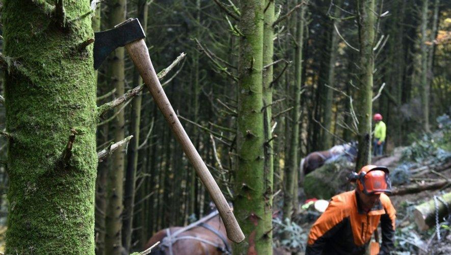 Des chevaux utilisés pour nettoyer la forêt du Morvan, en France, considérée comme prioritaire en Europe, le 2 novembre 2016