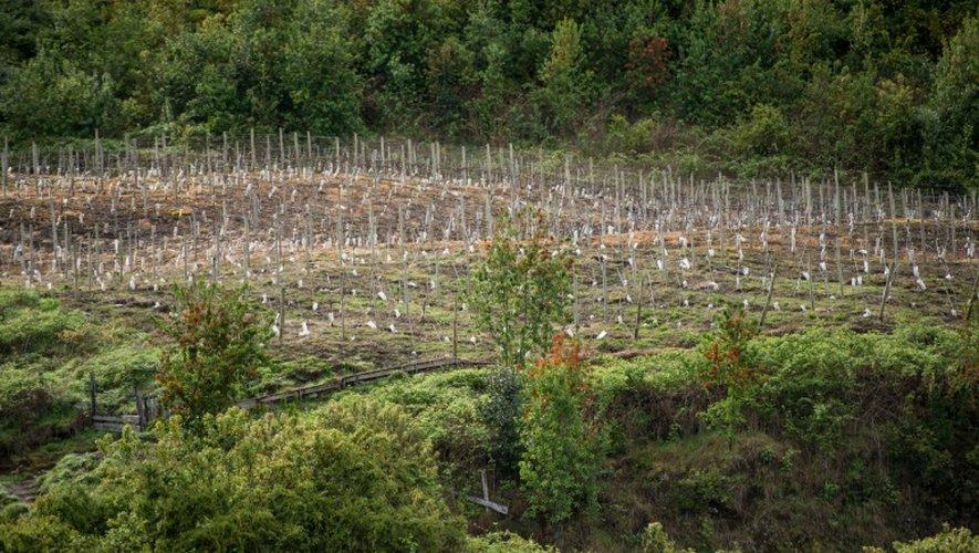 """Vue générale des vignes qui produisent le """"Puelo Patagonia"""", le 18 octobre 2016 à Puelo Los Lagos au Chili"""