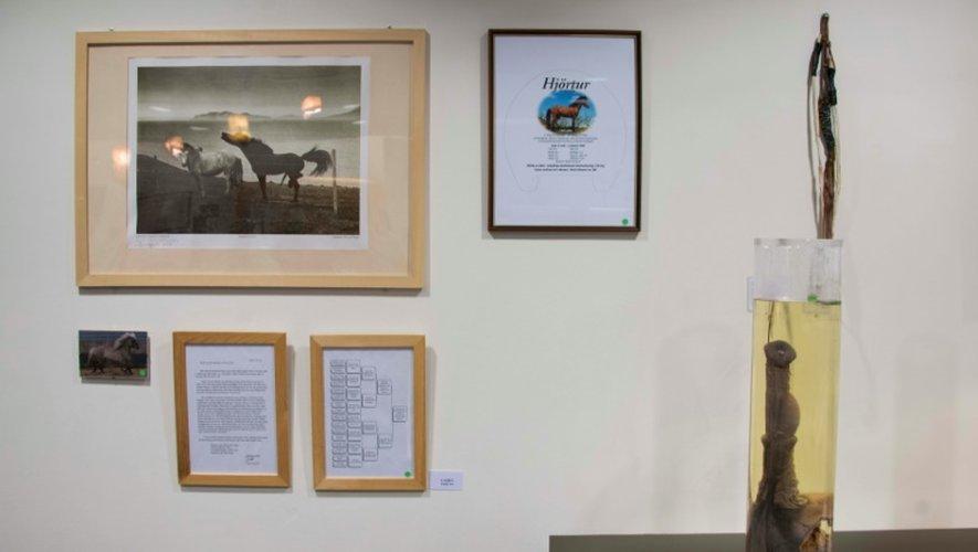 """Les pénis du musée du phallus de Reykjavik sont conservés """"marinés"""" ou """"séchés"""" et exposés au public avec quelque 350 oeuvres d'art"""