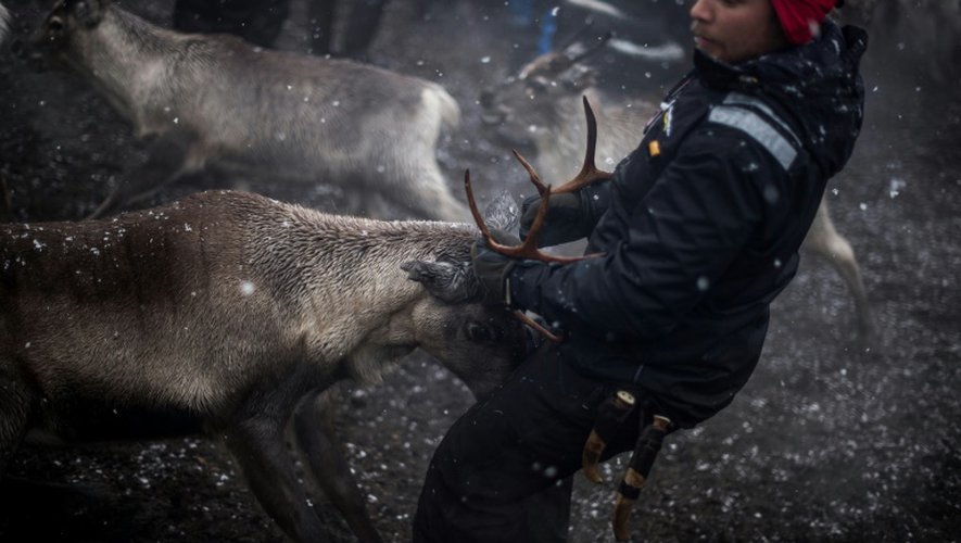 Un des éleveurs samis attrape un renne, le 27 octobre 2016, près de Dikanäs, à 800 kilomètres de la capitale suédoise