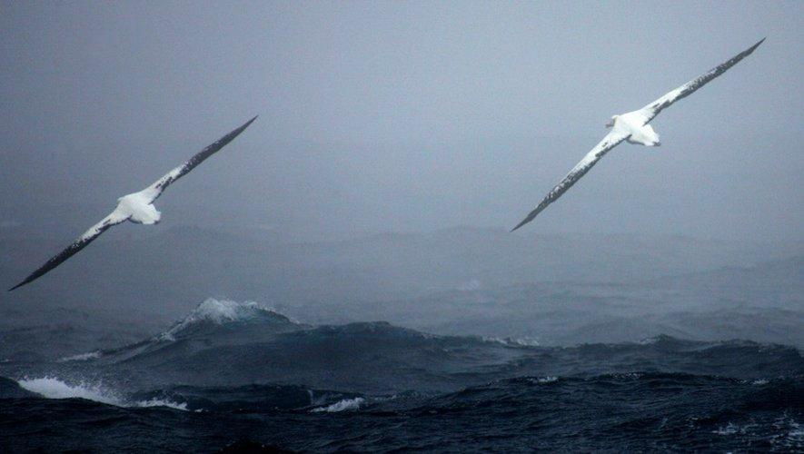 Les biologistes de la réserve naturelle américaine des Iles Midway dans le Pacifique ont observé l'albatros de laysan, appelée Wisdom, retourner pondre début décembre. C'est l'oiseau marin sauvage le plus âgé à concevoir, à au moins 66 ans