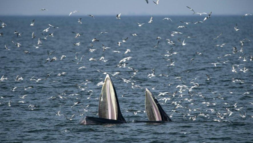 Une baleine et son petit un baleineau de  l'espèce rorquals de Bryde, évoluent dans le golfe de Thaïlande, le 20 novembre 2016